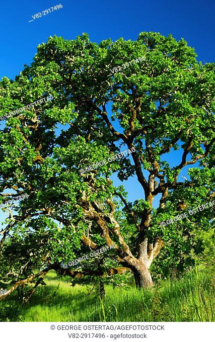 Oregon oak along Rich Guadagno Memorial Trail, Baskett Slough National Wildlife Refuge, Oregon