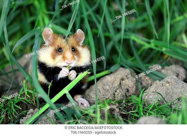 Common hamster feeding (Cricetus cricetus), captive, Alsace, France