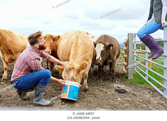 Man on farm feeding cow from bucket