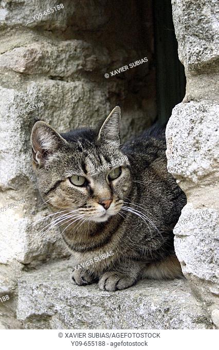 Cat, Saignon, Parc del Luberon, Alpes de Haute Provence, Provence, France