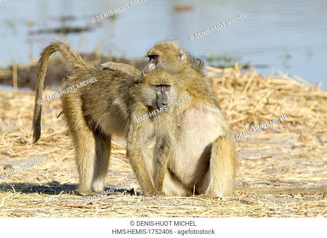 Bostwana, Khwai river game reserve, chacma baboon (Papio ursinus), grooming