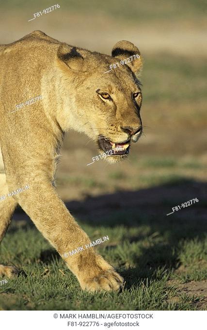 African lion Panthera leo adult female walking  Tanzania  January 2006