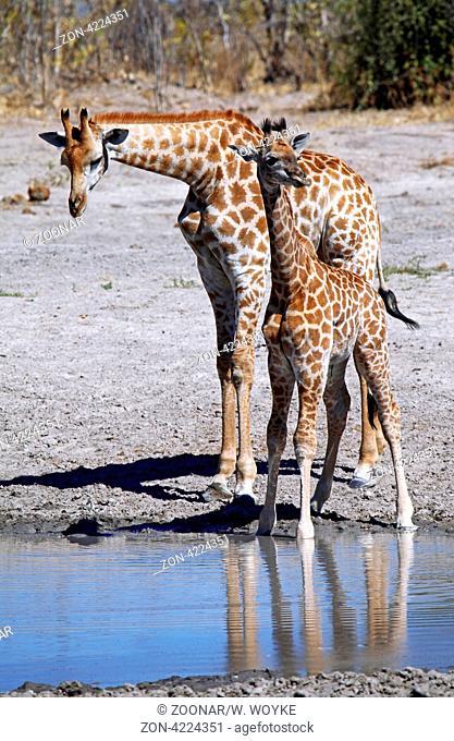 Giraffe im Chobe Nationalpark, Savuti, Botswana; Giraffe at Chobe National Park, Botsuana; Giraffa camelopardalis