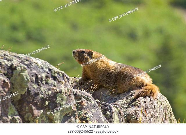 Yellow-bellied Marmot on Rocks