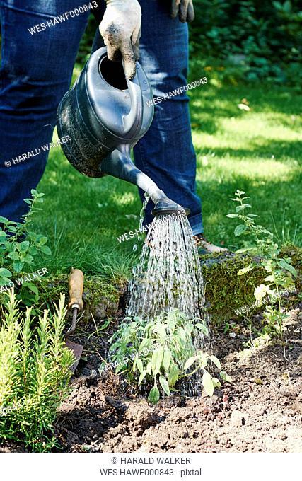 Gardener watering sage in a backyard herb garden