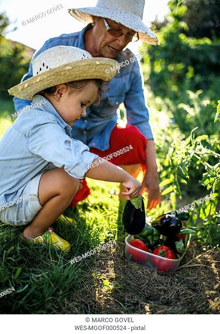 Senior woman and her little granddaughter harvesting vegetables in the garden