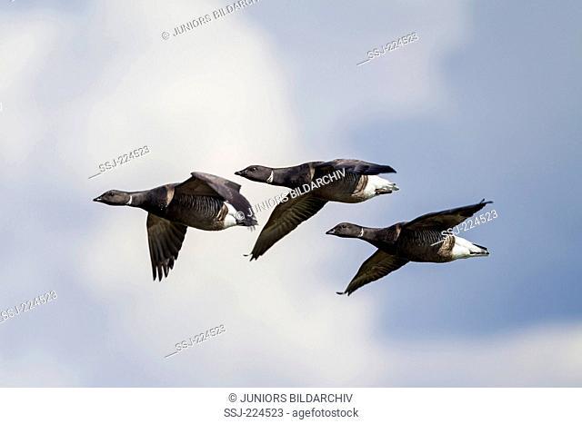 Brent Goose (Branta bernicla). Three adults in flight. Germany