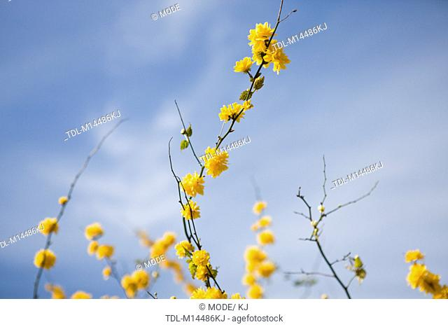 Branches of Kerria japonica with yellow flowers in spring