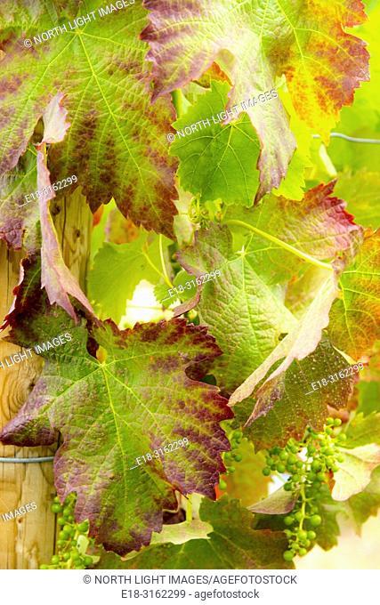 Canada, BC, Penticton. Narramata Bench. Closeup of grape vine leaves