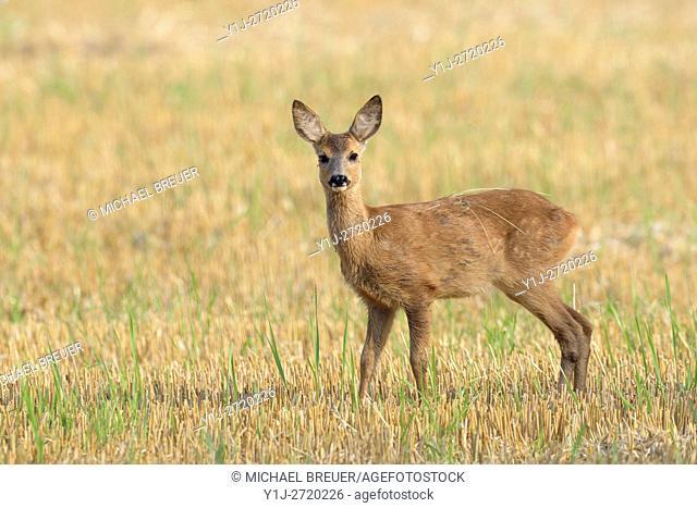 Western Roe deer (Capreolus capreolus) on Stubble Field, Fawn, Hesse, Germany, Europe