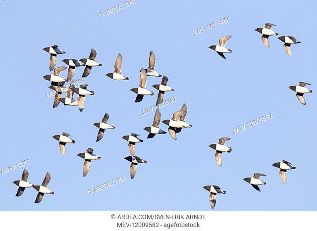 Little Auk / Dovekie - flock in flight - Svalbard, Norway