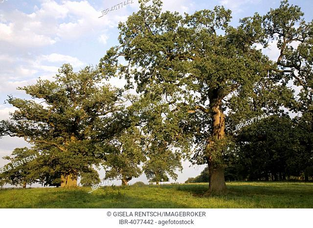 Oak trees in the evening light, at Beberbeck, Hesse, Germany