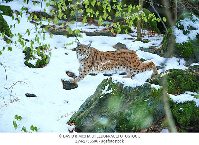 Close-up of a Eurasian lynx (Lynx lynx) in spring on a snowy morning in the Bavarian forest, Germany