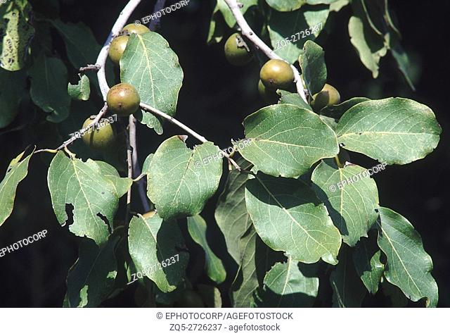 Branch with fruit. Diospyros Melanoxylon. Tendu tree/Indian Ebony. Family: Ebenaceae. A large deciduous tree typical to the deciduous forests of peninsular...
