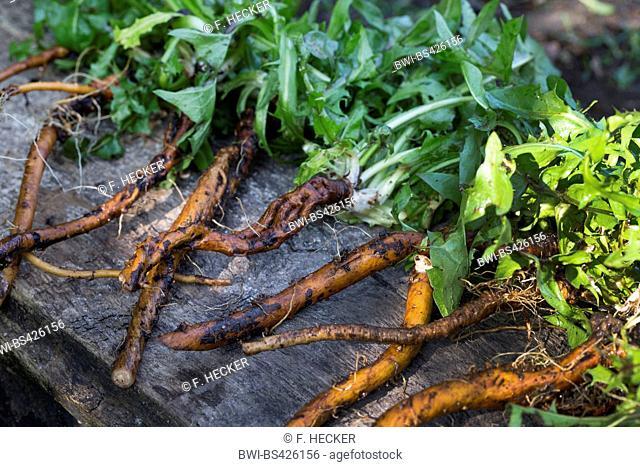 common dandelion (Taraxacum officinale), collected dandelion roots, Germany