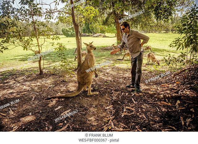 Australia, New South Wales, man preparing to make handshake with kangoroo