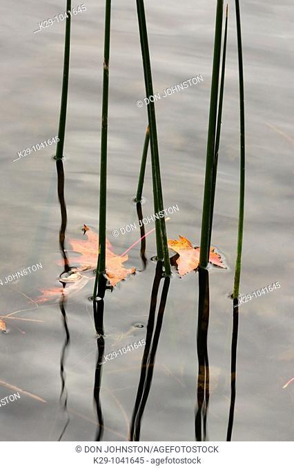 Bulrush stalks and fallen maple leaves in McCharles Lake