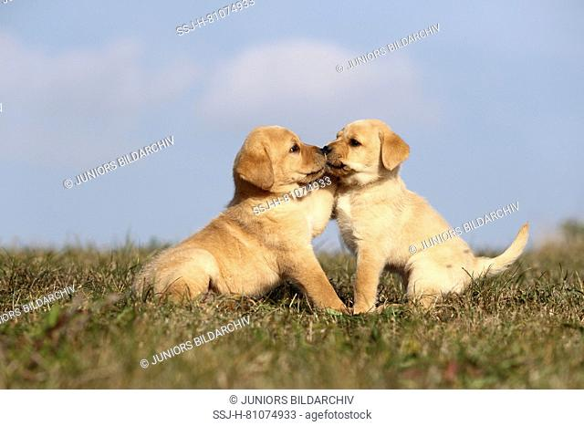 Labrador Retriever. Two blond puppies (6 weeks old) playing on a meadow. Germany
