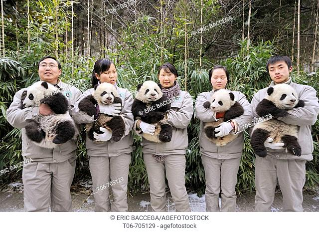 Keeper's team holding giant panda babies aged 5 months (Ailuropoda melanoleuca) at Wolong Nature Reserve, China, 2008