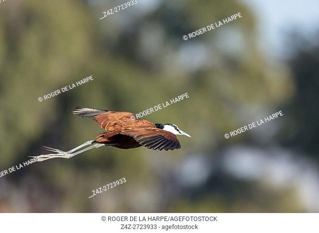 African jacana (Actophilornis africanus) in flight. Okavango Delta. Botswana