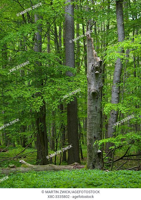Deadwood, coarse woody debris and fallen trees in the NP. The woodland Hainich in Thuringia, National Park and part of the UNESCO world heritage - Primeval...