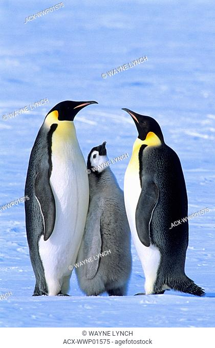 Emperor penguin Aptenodytes forsteri adults and chick, Atka Bay colony, 70 Degrees S, Weddell Sea, Antarctica