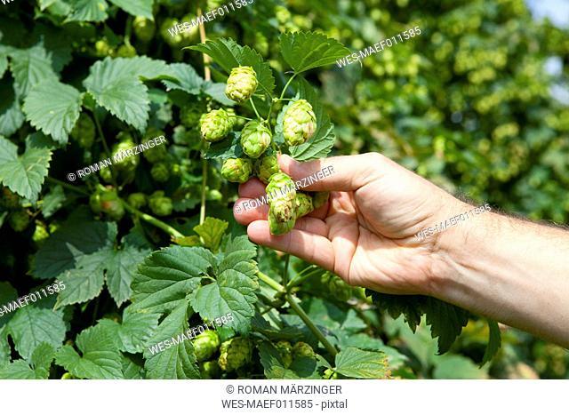 Farmer checking quality of hops