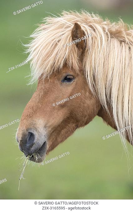 Icelandic Horse (Equus caballus), adult close-up