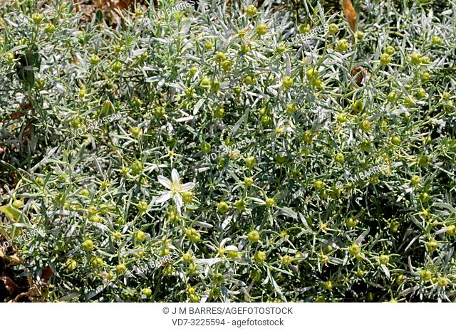 Syrian rue (Peganum harmala) is a perennial medicinal herb native to eastern Spain, north Africa and Asia from Turkey to China
