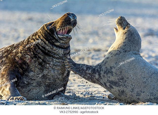Grey Seal, Halichoerus grypus, Pair in Mating Season, Europe