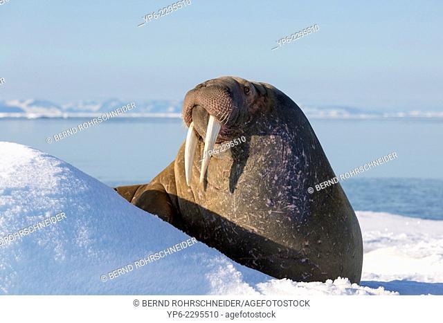 Walrus (Odobenus rosmarus) lying on ice floe, Hinlopenstretet, Spitsbergen, Svalbard