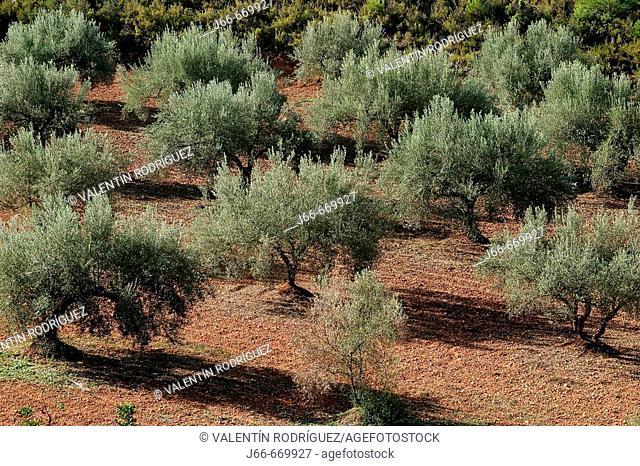 Olive trees. Soneja. Castellón province, Spain