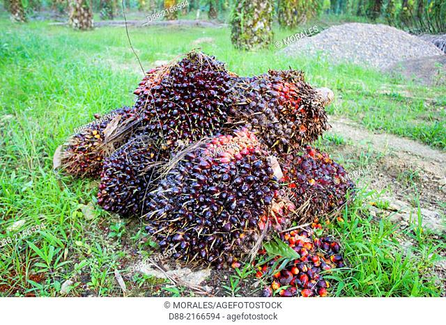Asia,Borneo,Malaysia,Sabah,Sukau ,Oil palm tree,African oil palm (Elaeis guineensis),fruits