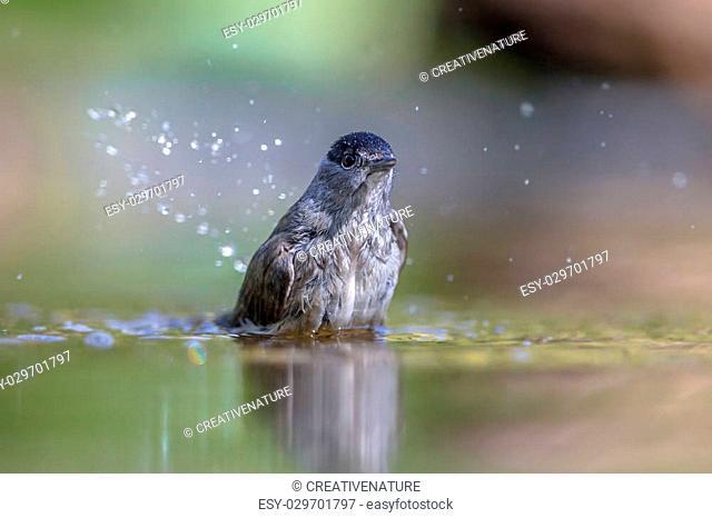 Eurasian blackcap (Sylvia atricapilla) washing in water while drops are splashing around