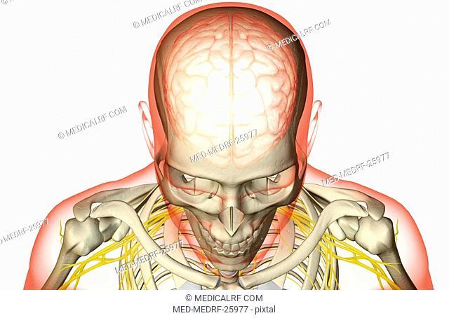The brain and the brachial plexus