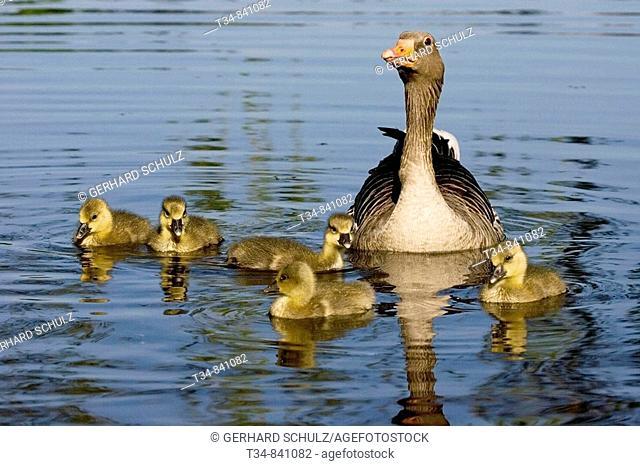 Graugans mit Küken, Anser anser, Aussenalster Hamburg, Deutschland , Greylag Goose with Chicks, Anser anser, River Alster Hamburg, Germany