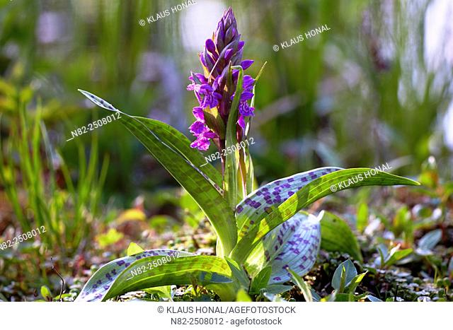 Marsh Orchid, Spotted Marsh Orchid or Leopard Marsh Orchid Dactylorhiza praetermissa subsp. junialis in a wet meadow with vigorous flowering stem