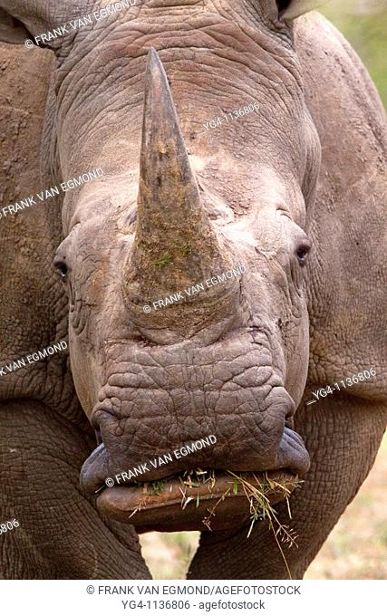 White Rhinoceros  Ceratotherium Simum  Face and mouth detail  May, Winter 2009  Ndumo Game Reserve, Kwazulu-Natal, South Africa