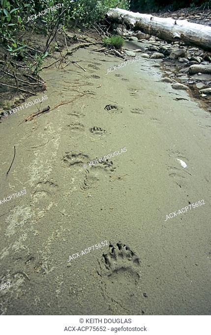 Grizzly bear tracks in Sandbar, Dean river, British Columbia, Canada