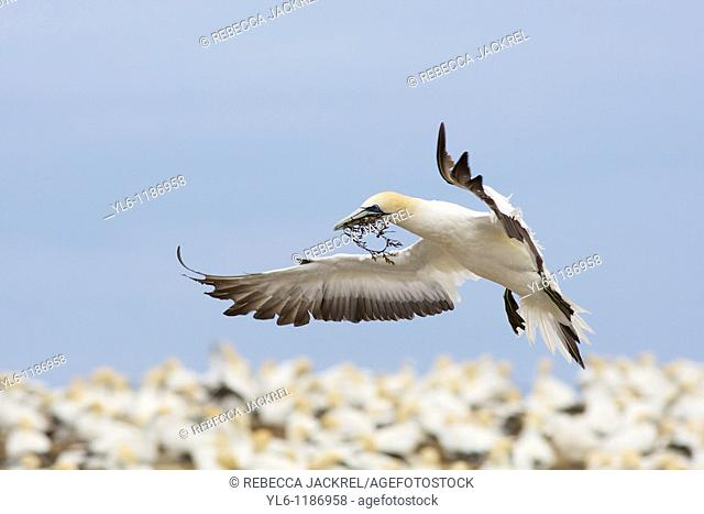 New Zealand, North Island, Cape Kidnappers  Australasian Gannet landing with nesting material