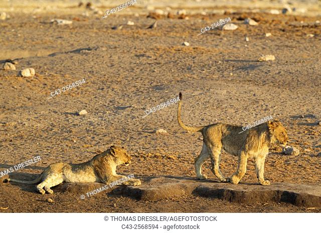 Lion (Panthera leo) - Two cubs near a waterhole. Etosha National Park, Namibia