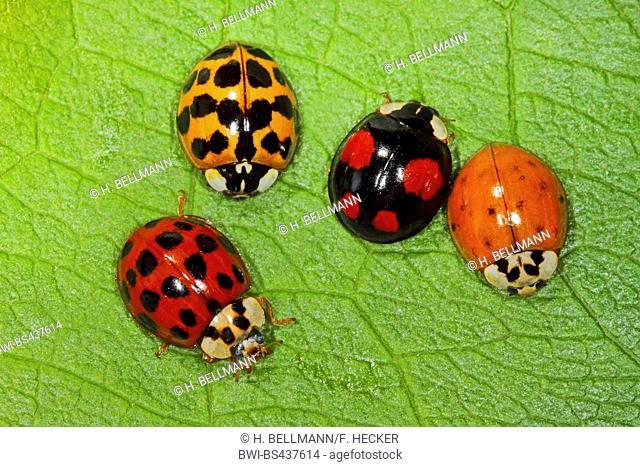 multicoloured Asian beetle (Harmonia axyridis), color variants, Germany