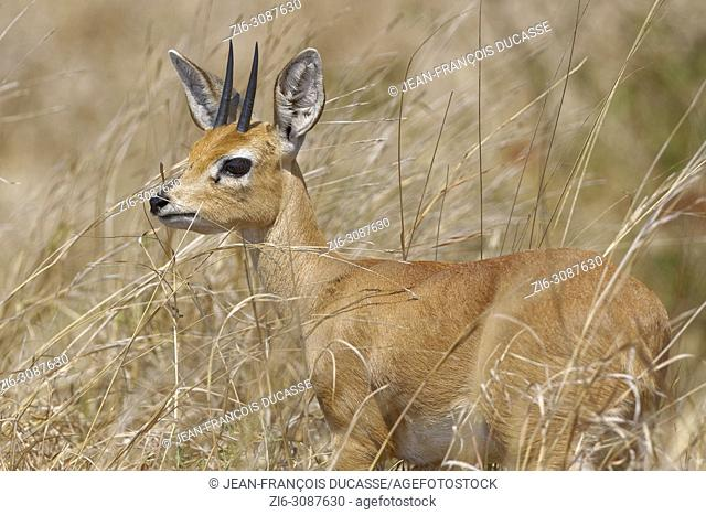 Steenbok (Raphicerus campestris), adult male standing in high dry grass, alert, Kruger National Park, South Africa, Africa