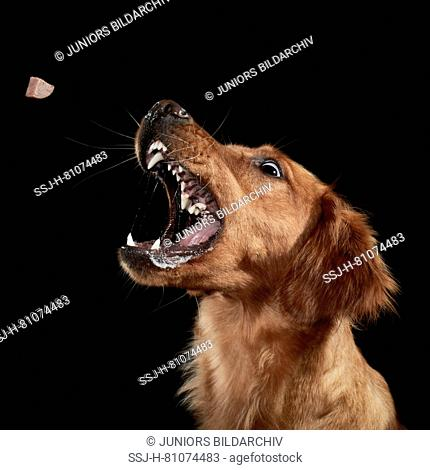 Golden Retriever. Adult catching a treat. Studio picture against a black background. Germany