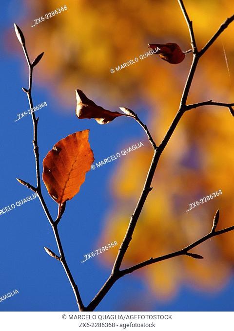 Beech leaf. Autumn at Montseny Natural Park. Barcelona province, Catalonia, Spain