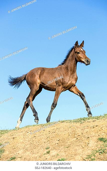 Nooitgedacht Pony. Bay foal galloping on a dune. South Africa