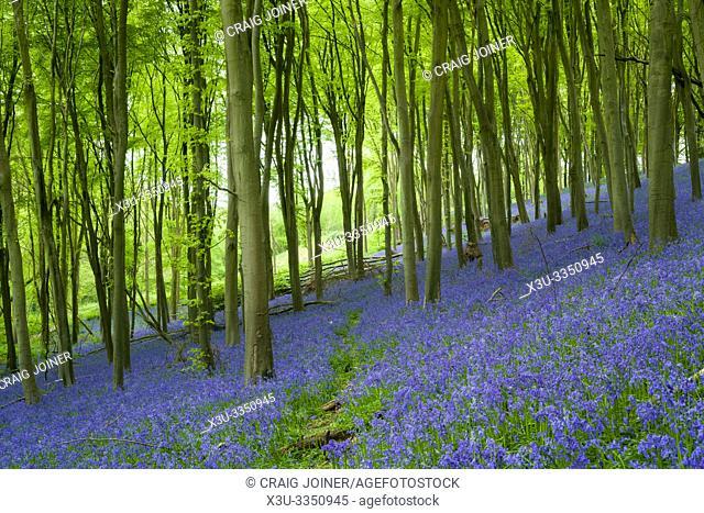 Bluebells at Prior's Wood near portbury, North Somerset, England