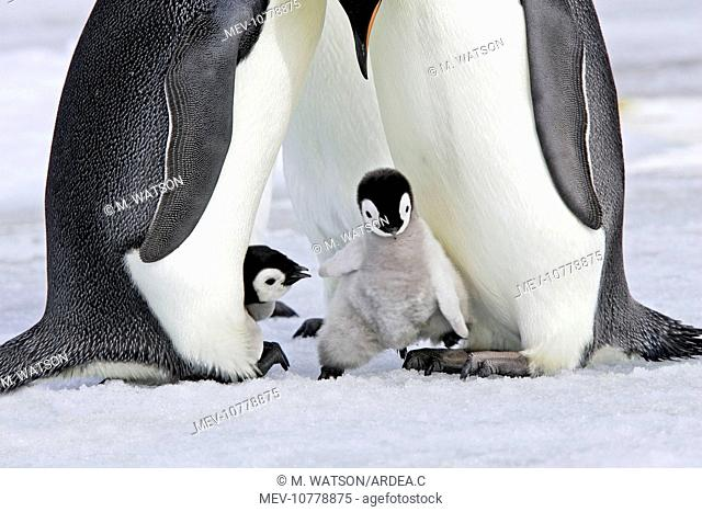 Emperor Penguin - chick stepping onto adult's feet (Aptenodytes forsteri)