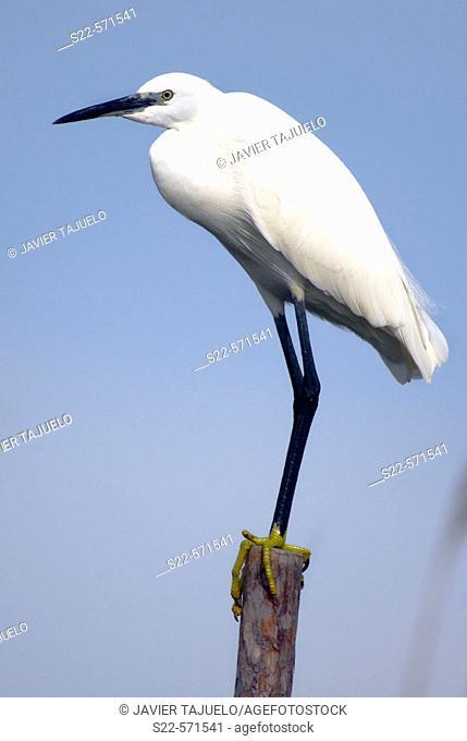 Little Egret (Egretta garzetta), La Albufera National Park. Valencia province, Comunidad Valenciana, Spain