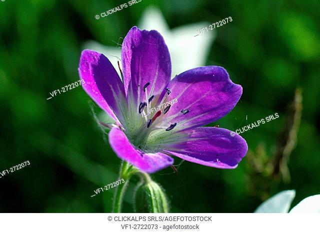 Geranium sylvaticum, wood cranesbill, woodland geranium, is a species of hardy flowering plant in the Geraniaceae family, native to Europe and northern Turkey
